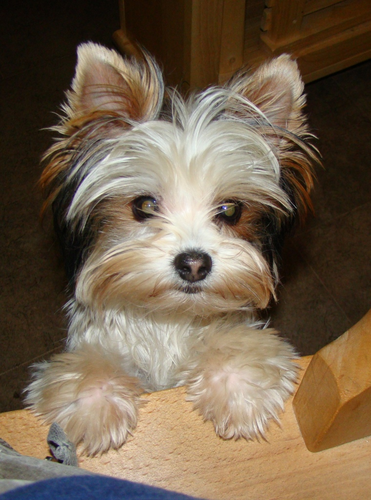 pomeranian x yorkshire terrier for sale uk dogs in our life photo blog