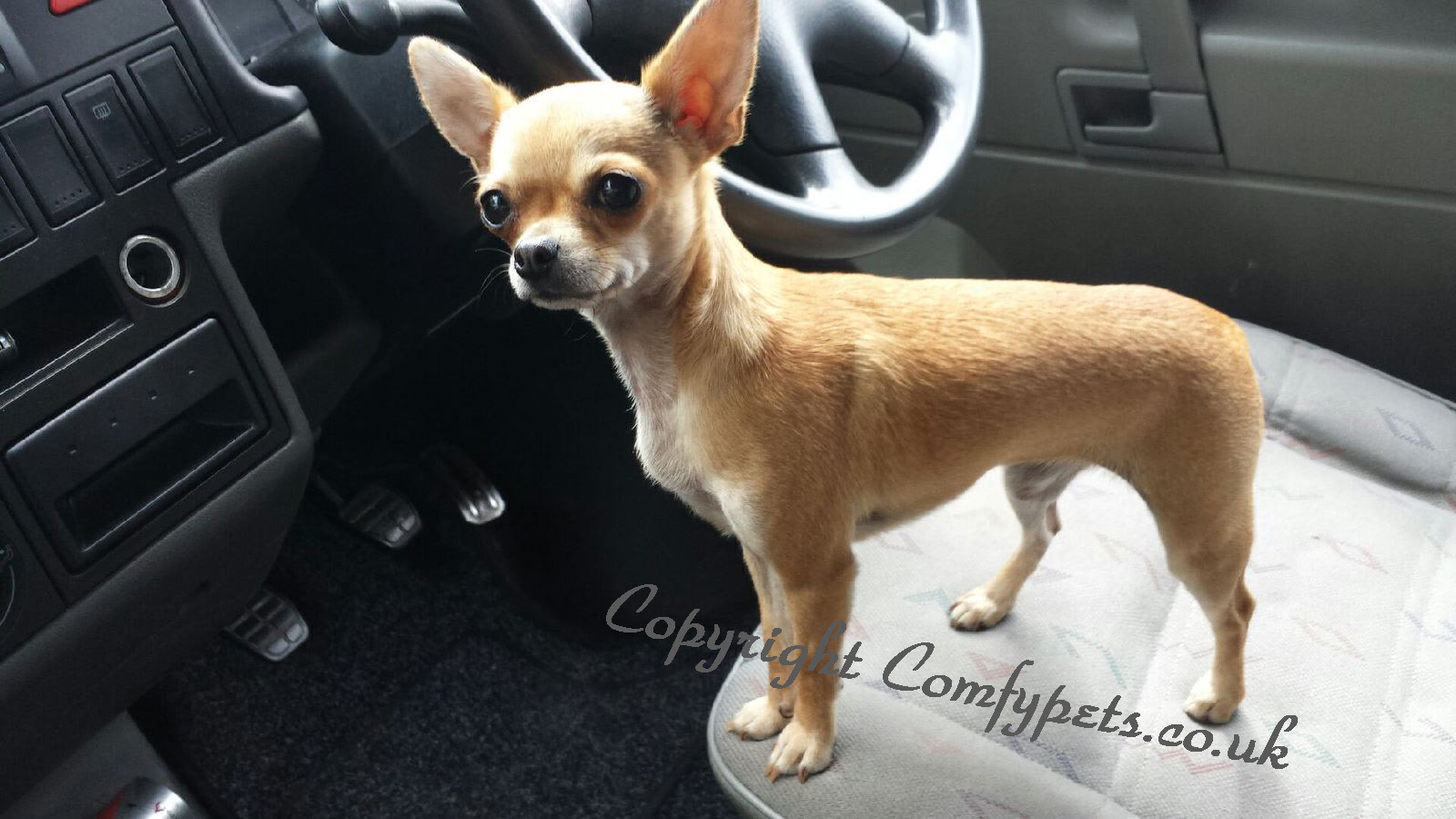 Adult Chihuahua Dogs For Sale Jones Chihuahuas