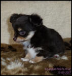 Chocolate Tricolour Male Long Coat Chihuahua Puppy