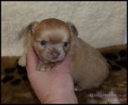lilac fawn long coat female chihuahua puppy