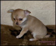 chocolate Fawn Smooth Coat Female Chihuahua Puppy