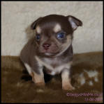 chocolate tricolour smooth coat male chihuahua puppy
