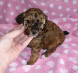 Sable Female Toy Poodle Puppy