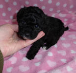 Black Mismark Female Toy Poodle Puppy
