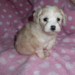Chinese Crested x Toy Poodle Puppy