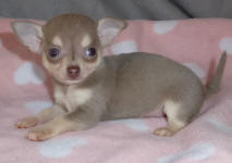 Lilac Female Chihuahua Puppy