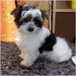 Biewer Terrier Pup For Sale Scotland