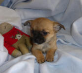 Sable Fawn Chihuahua Male Puppy Scotland