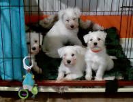 White Miniature Schnauzer Pups