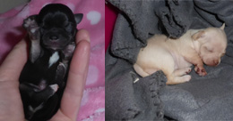 Chihuahua Puppies Available for Sale