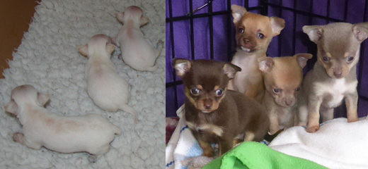 Chihuahua Pups of Various Colours and Sizes